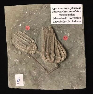 Gorgeous Pair of Fossil Crinoids