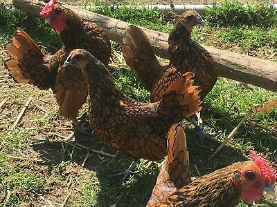 12 Fertile Hatching Chicken Eggs - Mixed Of Pure Breeds and Hybrids