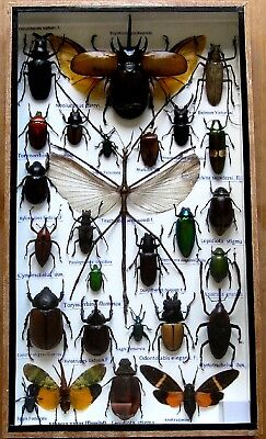 27 Real Bug Mounted Beetle Boxed Rare Insect Display Taxidermy Entomology
