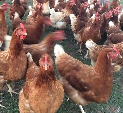 6 Chicken Fertile Hatching Eggs - Mixed Hybrids FREE POSTAGE!!