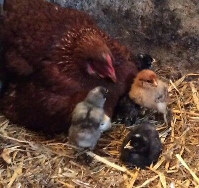 18 Chicken Fertile Hatching Eggs - Mixed Hybrids Fill Your incubator