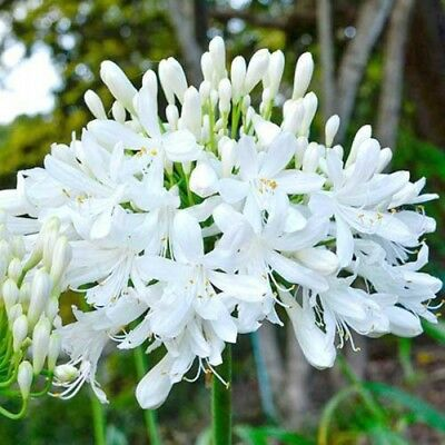 AGAPANTHUS  - Giant White - Mature Bare Rooted