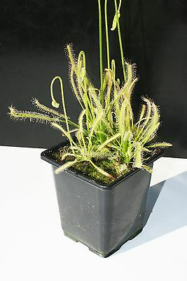 Drosera Capensis Alba South Africa - The Cape Sundew Cultivar Carnivorous Plants