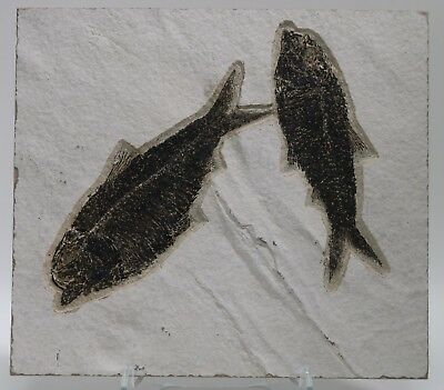 Nearly Perfect Knightia Alta & Eocaena Fossil Fish Green River Formation Wyoming