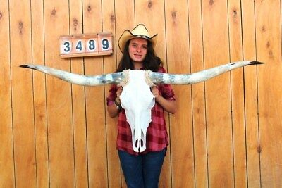 "Steer Skull Long Horns Mounted 5' 1"" Cow Bull Taxidermy Longhorn H3489"