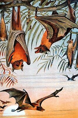 Fruit Bats 1901 HANGING from TREES Colorful Antique Matted Lithograph Print