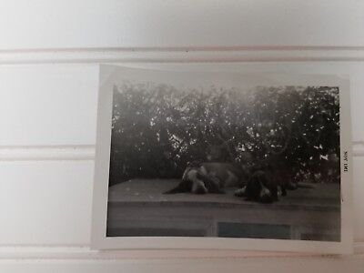 1961 Basset Hound Dog Photo Picture  DOGGIE COUPLE Hanging in MIAMI ~~~~~~~~~~~~