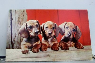 Greetings Dachshund Pups Postcard Old Vintage Card View Standard Souvenir Postal