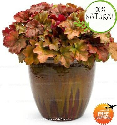 Coleus Bonsai Rainbow Seeds Plants Color Flower Ing For Home Mix 100pcs/bag