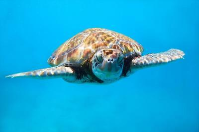 Sea Turtle Close Up Photo Art Print Mural inch Poster 36x54 inch