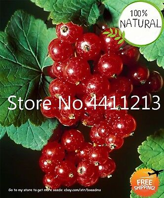 Currant Fruit Panamerican Seeds Plants Gooseberry Kimi Bonsai Lantern Tree Red