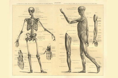 Human Anatomy Skeleton and Muscles of the Body Educational Chart Poster 18x12 in