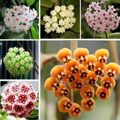 100 Pcs/Bag Mixed Color Hoya Seeds Ball Orchid Seeds Garden Potted F1AL 01