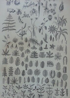Antique Print Dated 1880 Botany Engraving Flowers Plants Botanical Garden Art