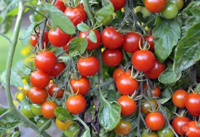 Vegetable Tomato Cherry Sweet Million F1 22 Finest Seeds