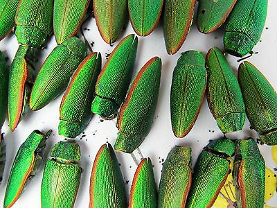 16 real dried mixed size Egyptian Scarab Beetle Bugs for jewelry. Natural.