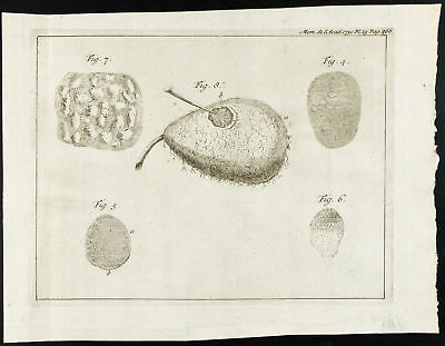 1777 - Pear : Engraving botany - Academy Royal of Sciences - Of The Hamel