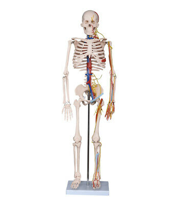 Half Size Skeleton Model with Nerves and Blood Vessels - Anatomy / Biology