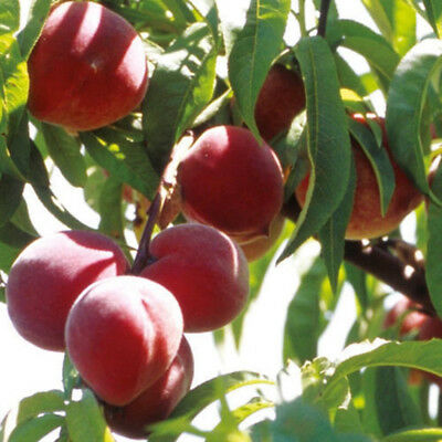 10pcs sweet peach seeds dwarf peach tree bonanza peaches fresh fruit plants HI