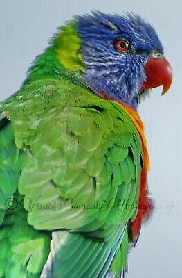 Digital Photograph Wallpaper Image Picture Free Delivery - Rainbow Lorikeet 2