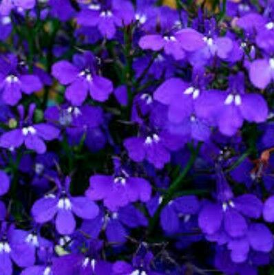 Crystal Palace Dark Blue Bush Lobelia Plants 24 Garden Ready