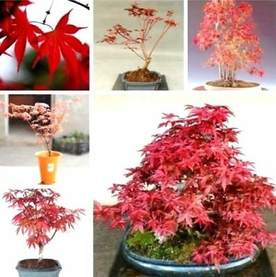 10PCS Red Japanese Maple Palmatum Atropurpureum Plant Tree Seeds Garden Decor