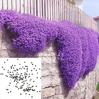 250pcs / 1bag Cascade Purple Aubrieta Flower Seeds Perennial Ground Cover Q7Y2