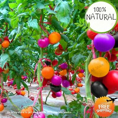 Rainbow Tomato Ornamental Seeds Plants Pot Organic Heirloom Bonsai Rare 100pcs