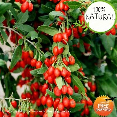 Goji Berry Wolfberry Seeds Plants Bonsai Shrub Bush Fruit For Home 100pcs/pack