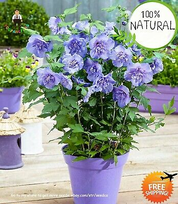 Hibiscus Flower Bonsai Seeds Plants Giant Flowers For Garden Indoor