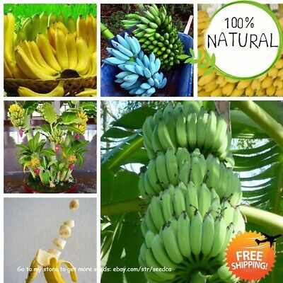 Dwarf Banana Bonsai Seeds Plants Tree Tropical Fruit Outdoor Potted 100pcs
