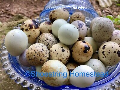 Fertile Coturnix Quail Hatching Eggs Assorted Colors Six+ 6+ FREE Shipping!