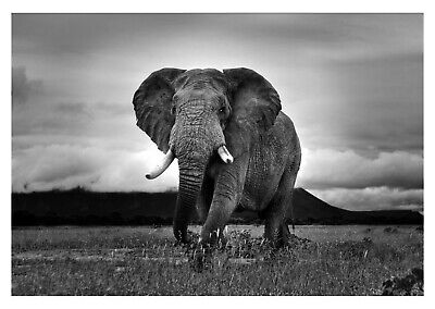 Wild Elephant - Black And White Animal Nature Art Large Poster & Canvas Picture