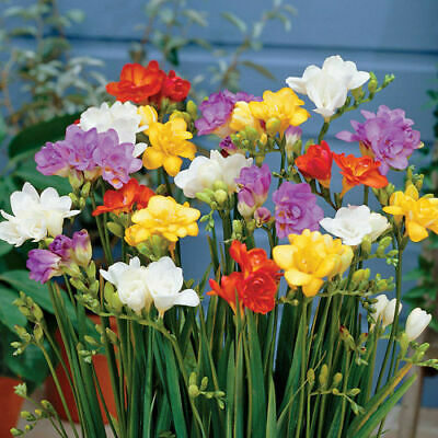 10 Freesia Mix Color Very Fragrant Flower Bulb Perennial Summer Blooming