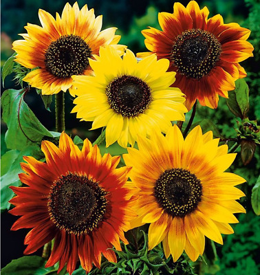 Flower Sunflower Helianthus Annuus Autumn Beauty 100 Seeds Per Pack