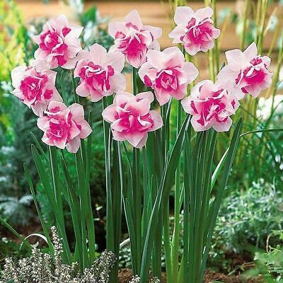 400pcs Charm Mixed Daffodil Seeds Spring Flower Double Narcissus Duo Bulbs Seeds