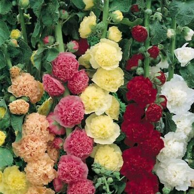 3 Double Hollyhocks Mix Color Flower Root Bulb Perennial Summer Blooming