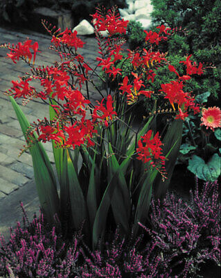 5 Crocosmia Lucifer Red Color Flower Bulb Summer Blooming Perennial Plant