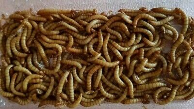 LIVE Mealworms for Reptiles and Birds (2.5cm+)