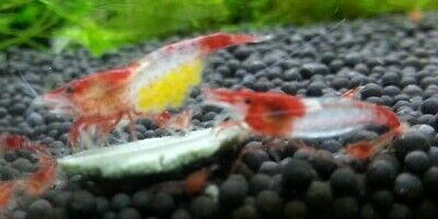 5 Red Rili Shrimp (Neocaridina davidi) Live Freshwater Aquarium Fish