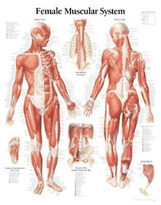 Muscular System Female Chart: Laminated Wall Chart by Scientific Publishing