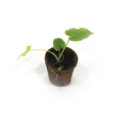 Philodendron Selloum Green Young Plant - Houseplants