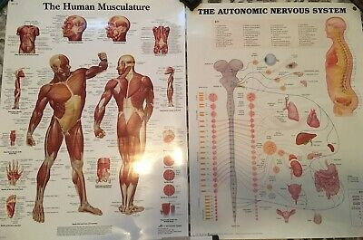Human Musculature & The Autonomic Nervous System Chart Lot Of 2 (laminated)
