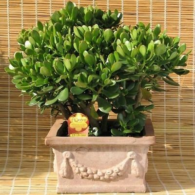 -=PERFECT GIFT=-  Lucky Money Tree 20cm!! PLANT 2ys old *BUY TWO GET ONE FREE*