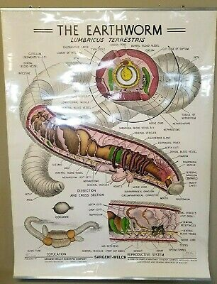 Earthworm Poster Diagram Biology Science Classroom Lab 1950s Vtg