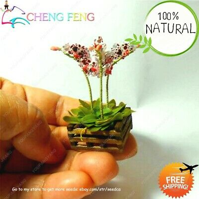 High Quality Phalaenopsis Seeds Plants Butterfly Orchids Bonsai Rare 200pcs