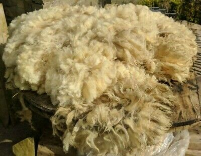 Whole Spinning Fleece, Felting, Weaving, Fibre Craft. Organic Shetland Sheep