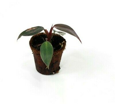 Philodendron Pink Princess Young Plant- Houseplants