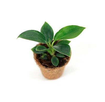 Rare Philodendron Birkin Young Plant - Houseplants