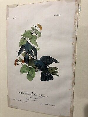 1st ed Octovo Audubon printed by Bowen, White-headed Dove or Pigeon, Plate #280